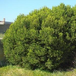 Melaleuca armillaris