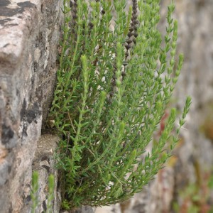 Micromeria juliana
