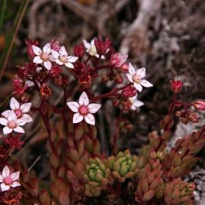 Sedum anglicum subsp. pyrenaicum