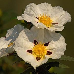 Cistus ladanifer subsp. ladanifer