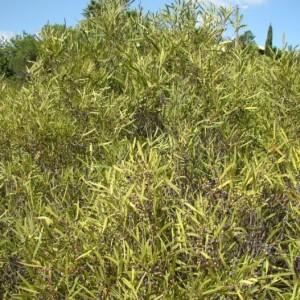Phillyrea angustifolia