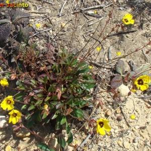 Xolantha globulariifolia
