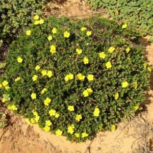 Helianthemum marifolium subsp. marifolium