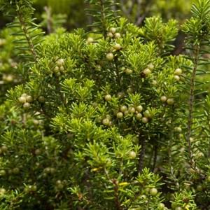 Corema album subsp. azoricum