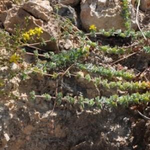 Hypericum tomentosum