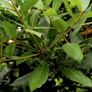 Laurus azorica