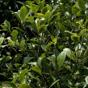 Picconia azorica