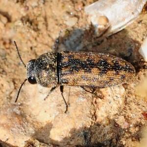 Acmaeodera rubromaculata