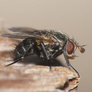 Actia pilipennis