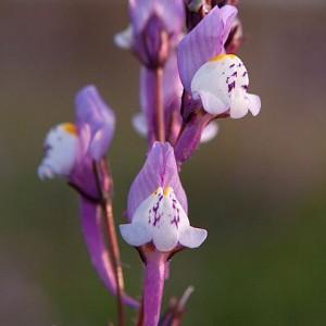 Linaria algarviana