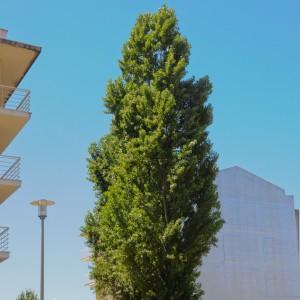 Populus nigra subsp.  pyramidalis
