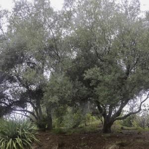 Salix canariensis