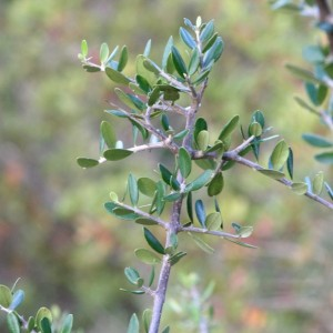 Rhamnus oleoides