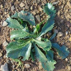 Anarrhinum bellidifolium