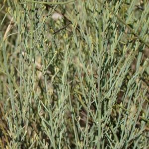 Osyris alba