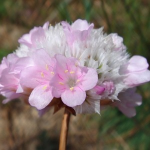 Armeria macrophylla