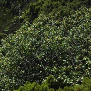Frangula azorica