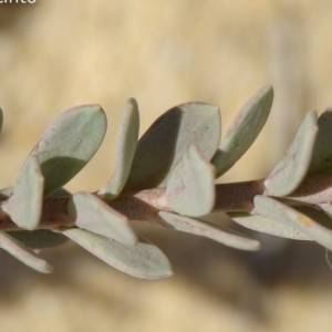 Linaria polygalifolia subsp. polygalifolia