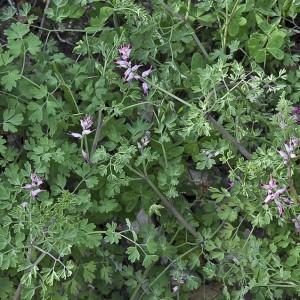 Fumaria muralis subsp. muralis