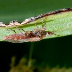 Belonochilus numenius