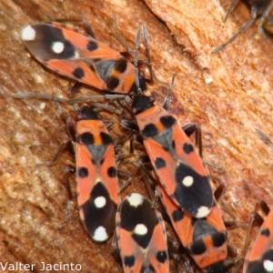 Horvathiolus syriacus