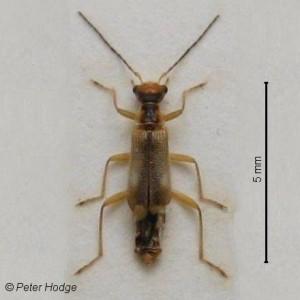 Malthinus seriepunctatus