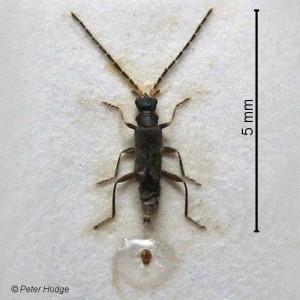 Malthodes berberidis
