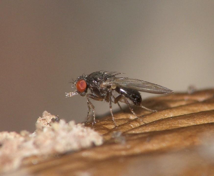 Fungo em Drosophila ambigua © Rui Andrade