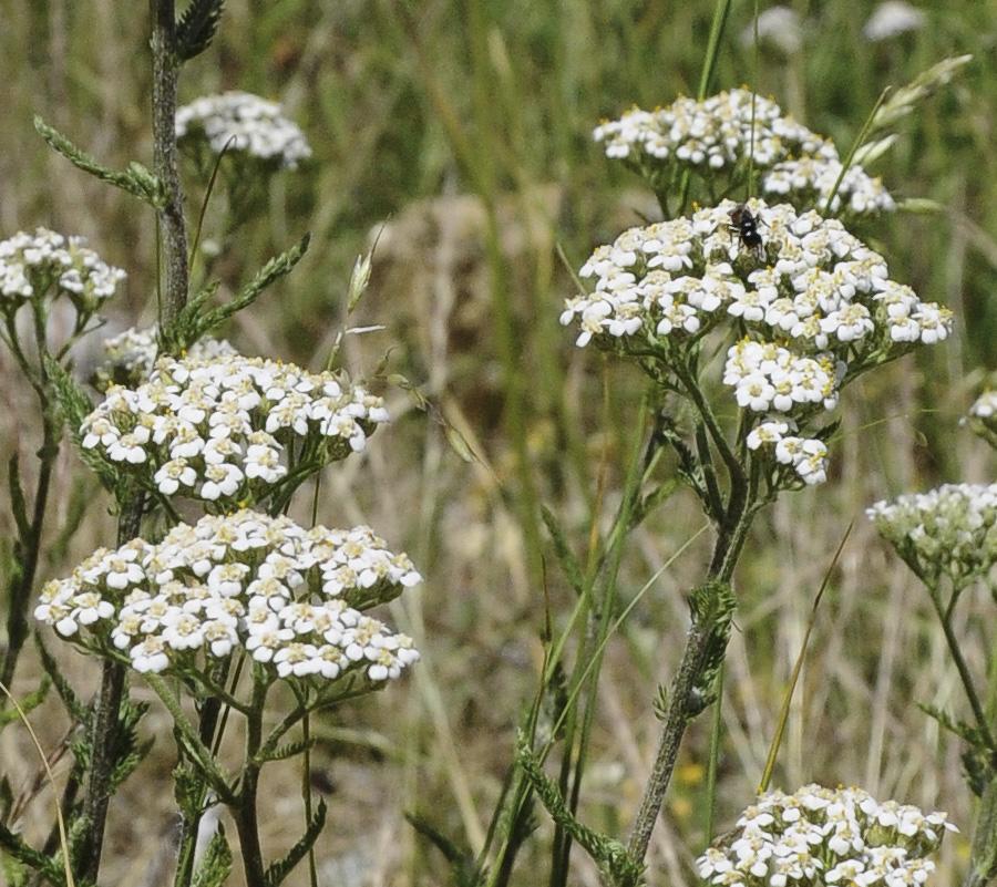 A inflorescência é um corimbo de pequenas flores brancas a rosadas. © Ian & Clare Smith