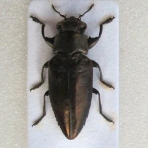 Chrysobothris dorsata