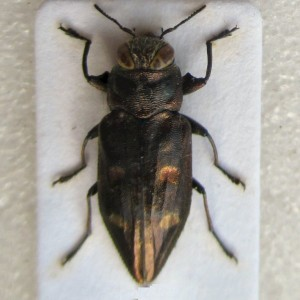 Chrysobothris solieri