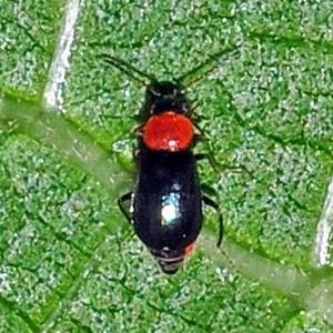Ebaeus thoracicus