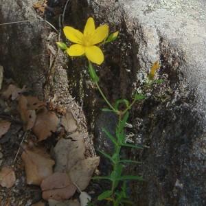 Hypericum linariifolium subsp. linariifolium