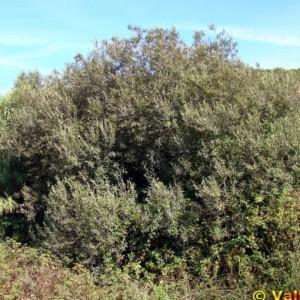 Salix salviifolia subsp. salviifolia