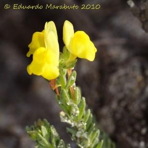 Linaria bipunctata subsp. glutinosa
