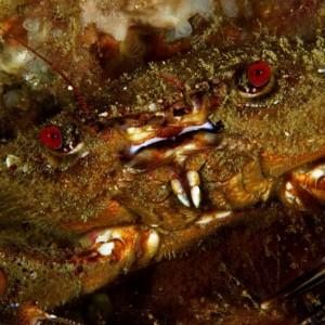 Fêmea com ovos. Ponta da Passagem, Sesimbra, a cerca de 15m de profundidade. © João Pedro Silva