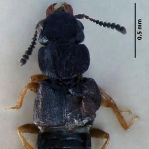 Anotylus complanatus