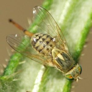Terellia serratulae