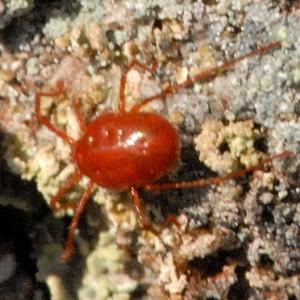 Bryobia rubrioculus