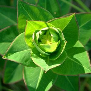 Euphorbia paniculata subsp. welwitschii