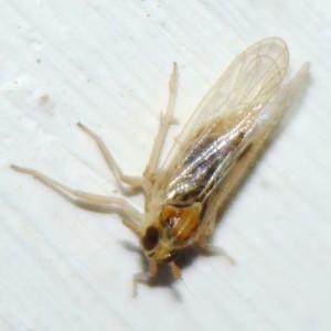 Laodelphax striatellus