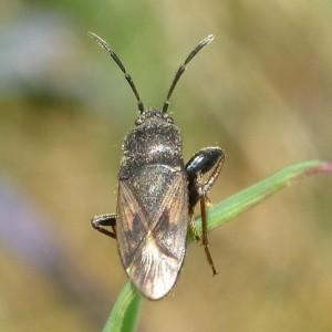 Megalonotus emarginatus