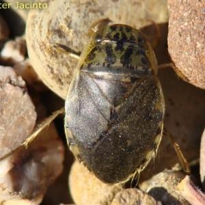 Naucoris maculatus