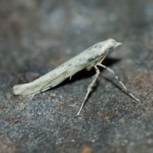 Povolnya leucapennella