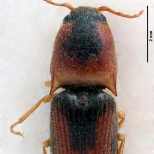 Aeolus melliculus