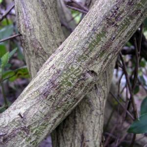 Cytisus grandiflorus subsp. grandiflorus