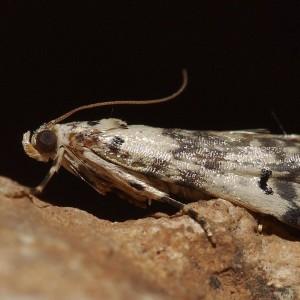 Euzophera lunulella