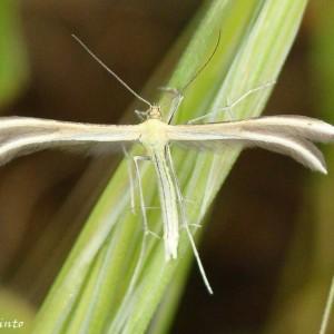 Merrifieldia tridactyla