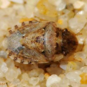 Sciocoris conspurcatus