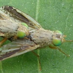 Acanthiophilus walkeri